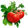 Two Red Tomatoes Growing on a vine